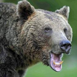 Été Roumanie Ours et oiseaux dans les Carpates du 10 au 17/07/2021 - 3 places disponibles