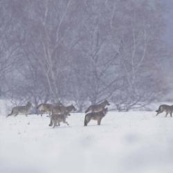 Hiver Pologne - La plus grande meute de loups du 09 au 18/02/2022 - 3 places disponibles