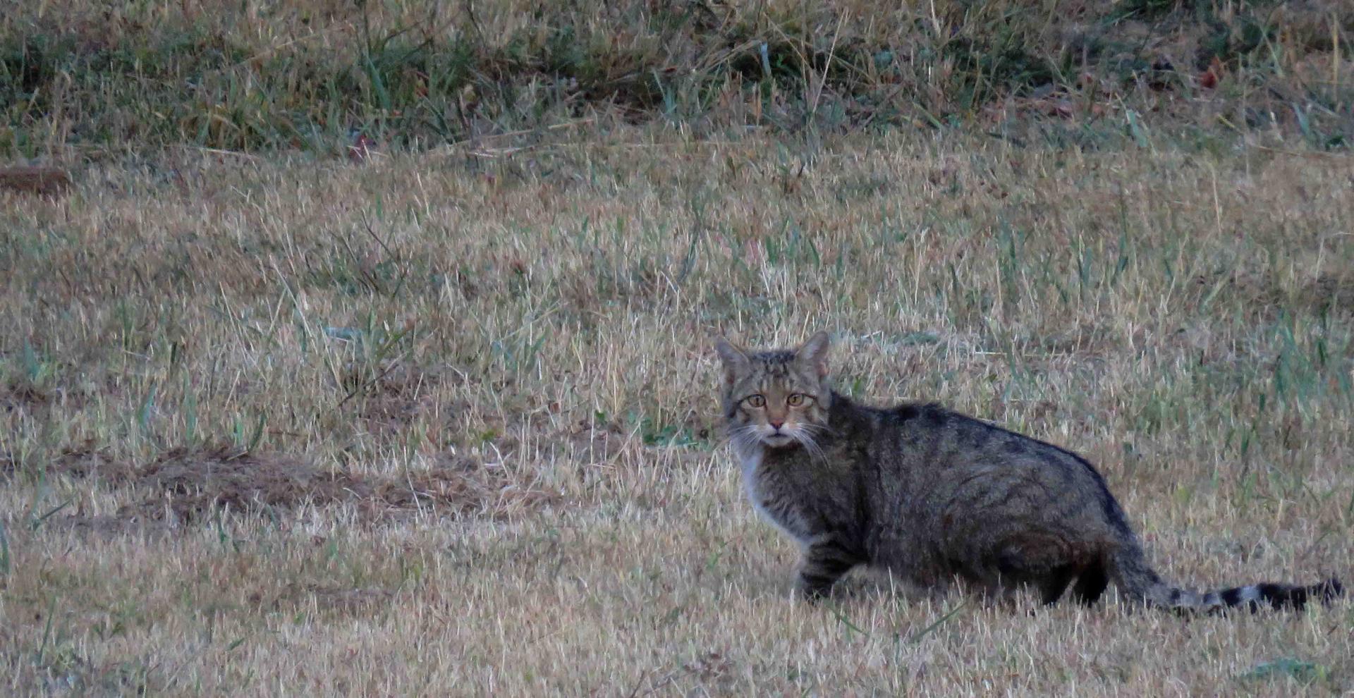 Eté Espagne Chats sauvages loups... à la demande