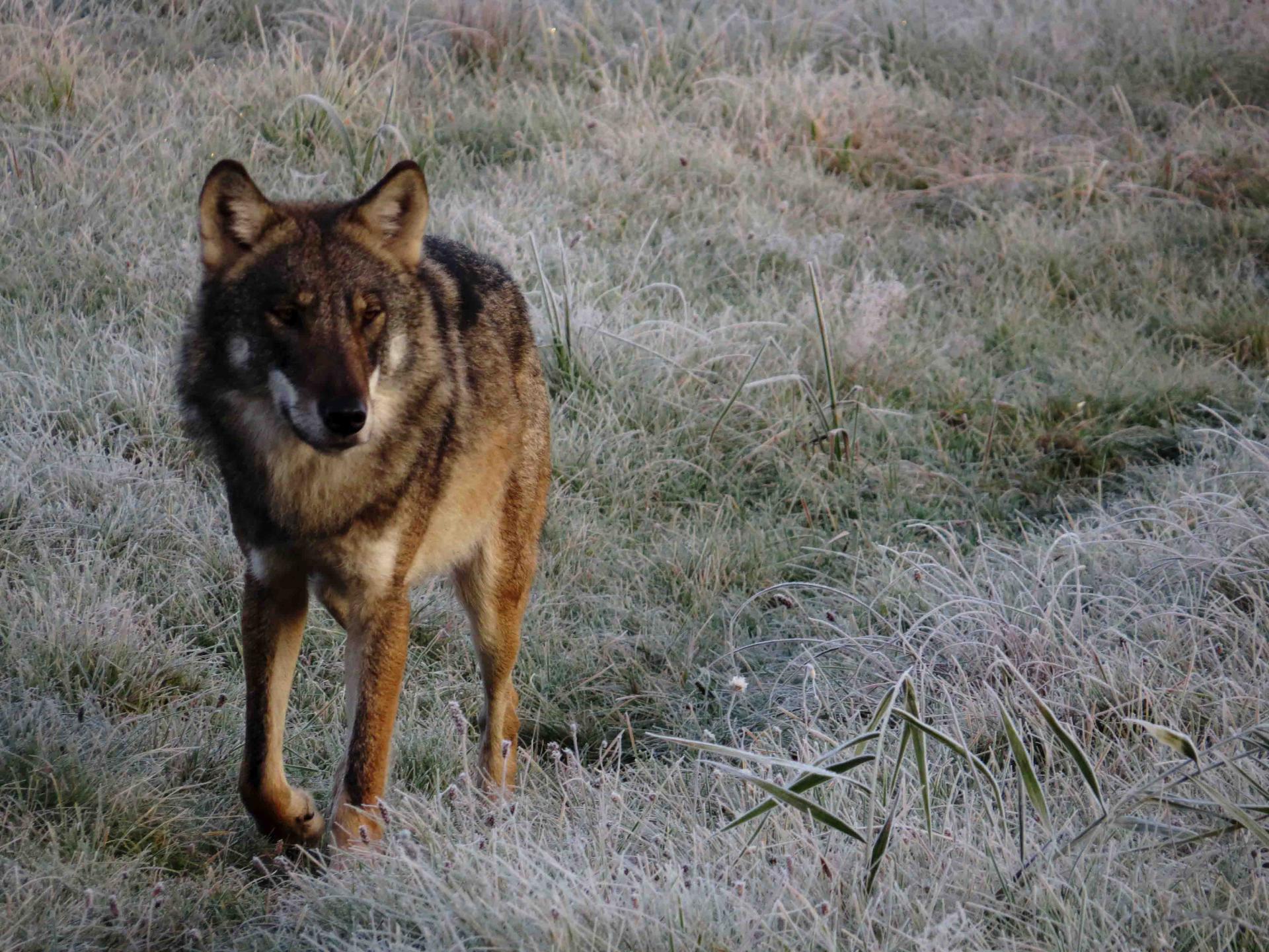 Automne Pologne Bialowieza Le bison et le loup du 21 au 31 octobre 2017