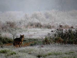 Loup forêt Bialowieza Pologne