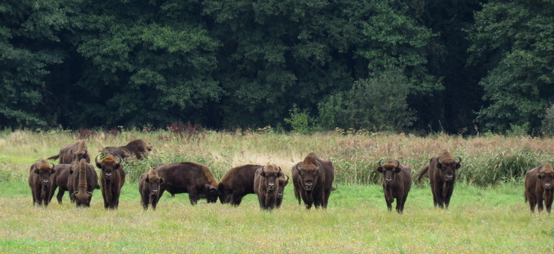 Troupeau de Bisons d'Europe Bialowieza Pologne
