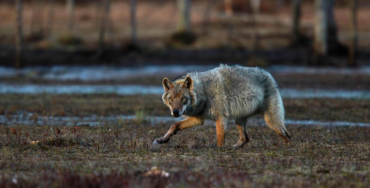 Printemps Finlande   Les loups sous le soleil de minuit à la demande