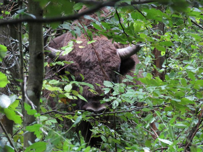 Automne Pologne Le bison et le Loup du 1er au 11 Octobre 2018 3 places disponibles