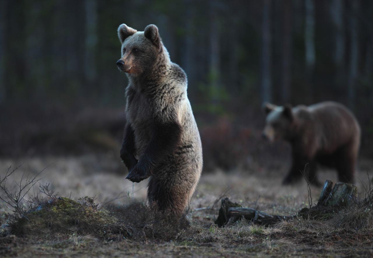 Deux ours Finlande Carélie