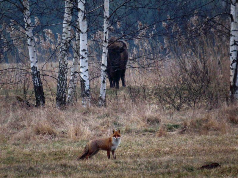 Automne Pologne Le bison et le Loup du 12 au 22 Octobre 2018 3 places disponibles