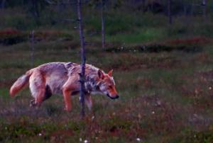 Loup finlande carelie
