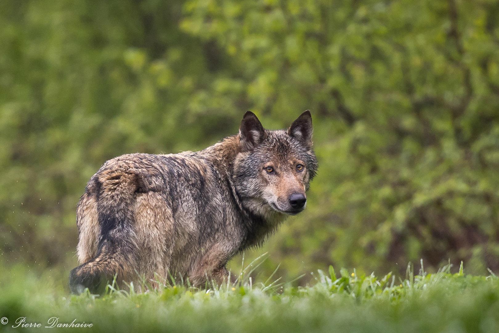 Hiver Pologne - Spécial photo loups du 5 au 13/03/2022 - Privé