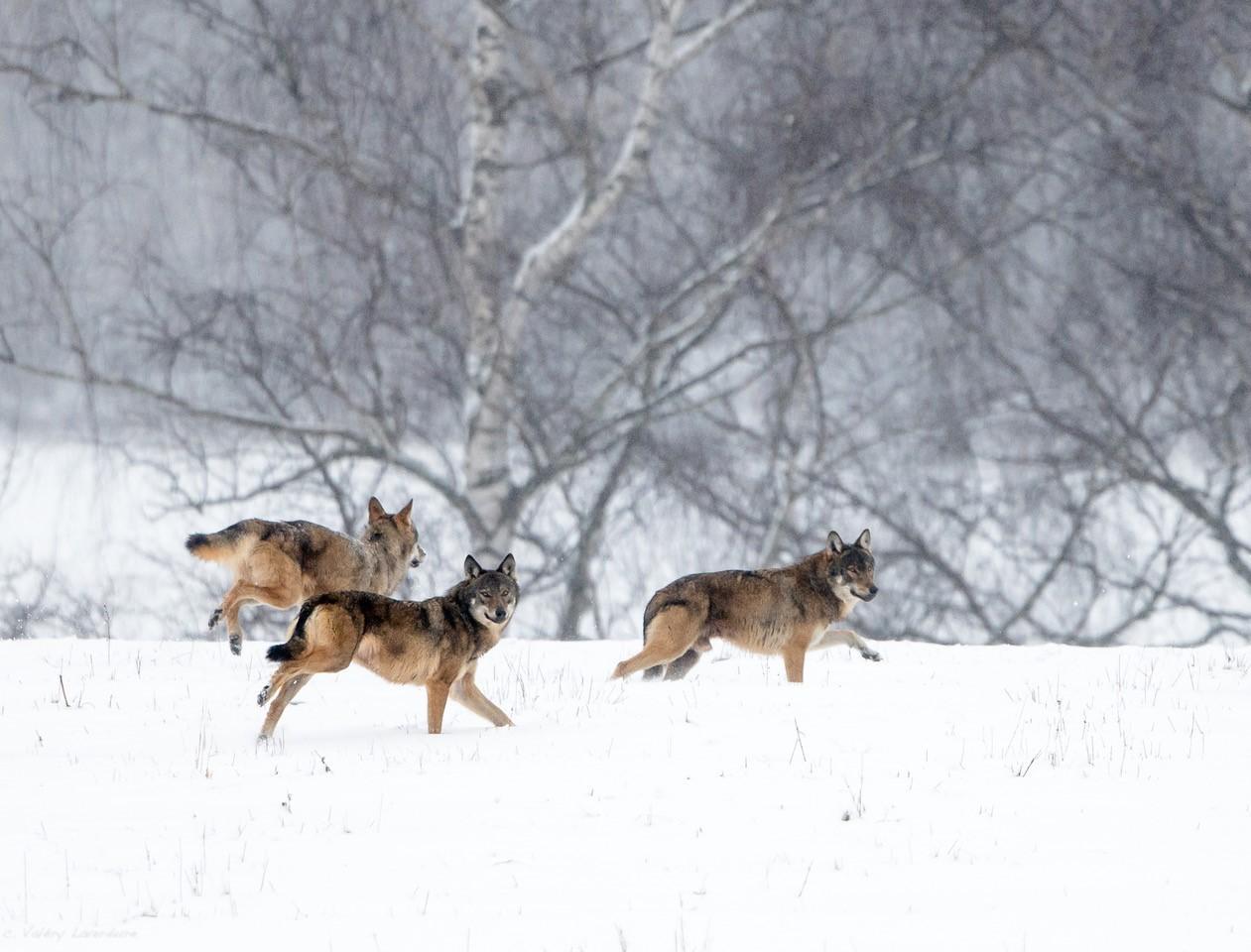 Hiver Pologne  La plus grande meute de loups du 17 au 26/02/2021 - annulé Covid