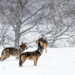 Hiver Pologne La plus grande meute de loups 31/01 au 8/02/2022 2 places disponibles.