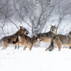 Hiver Pologne  La plus grande meute de loups du 09 au 18/02/2022 - 3 places disponibles