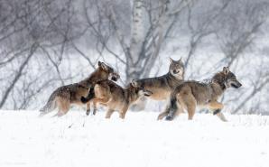 Loups neige 6