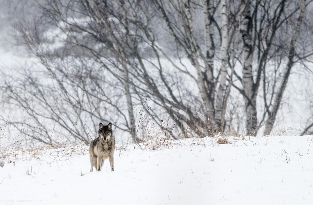 Hiver Pologne - La plus grande meute de loups du 12 au 30/01/2022 - Privé