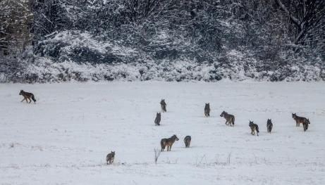Loups neige 9 3