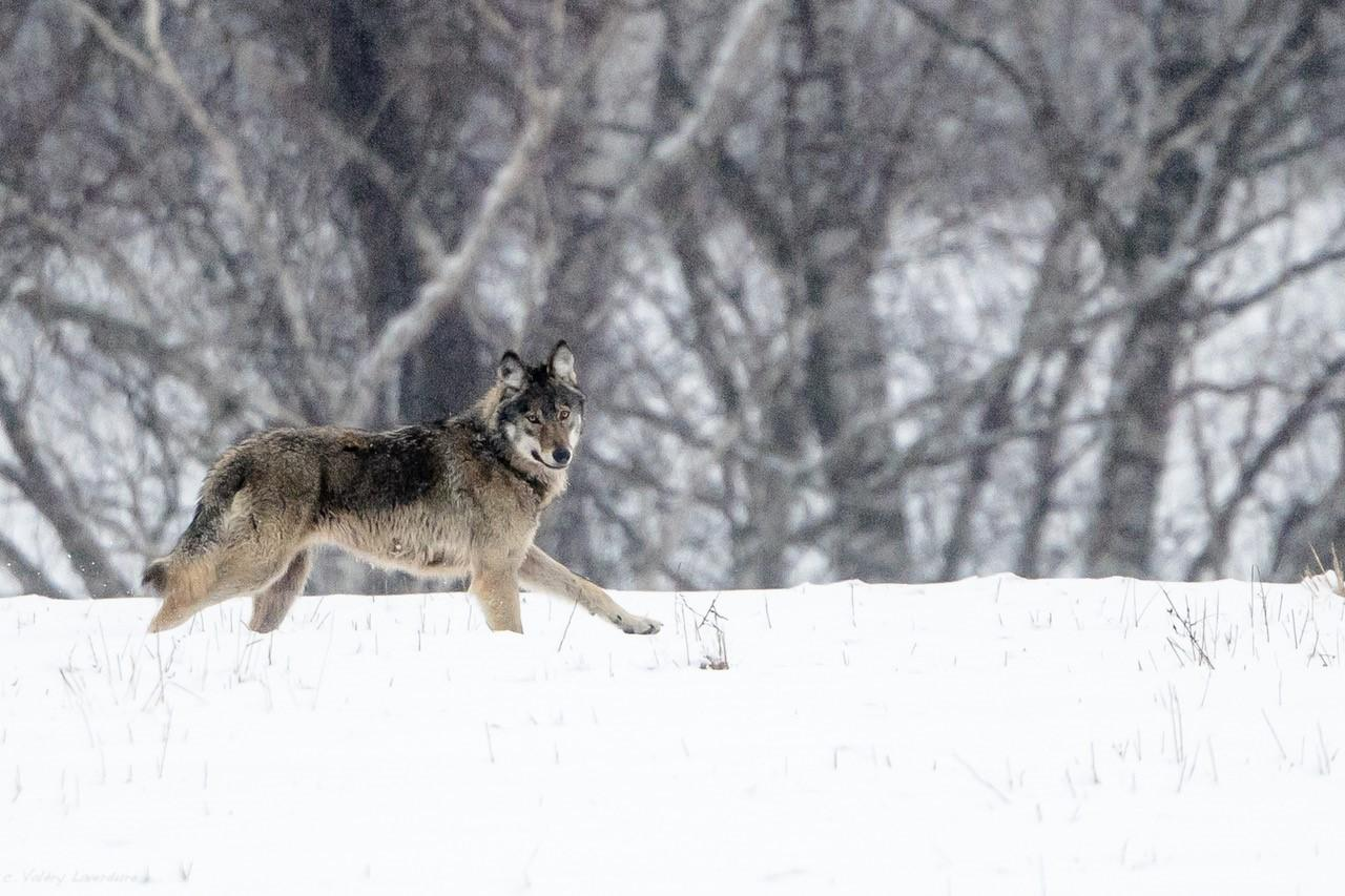 Hiver Pologne La plus grande meute de loups du 17 au 26/02/2021--4 places disponibles