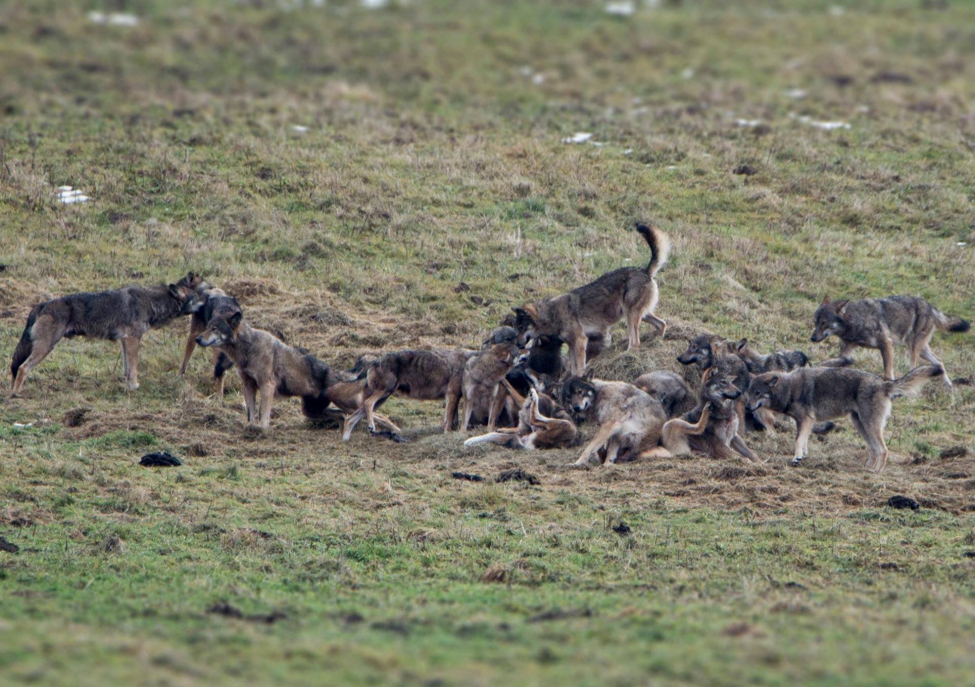 Hiver Pologne : La Plus Grande Meute De Loups D'Europe du 01 au 10/02/2020 - COMPLET