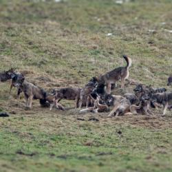Hiver Pologne La plus grande Meute de Loups d' Europe du 01 au 10/02/2020 - COMPLET