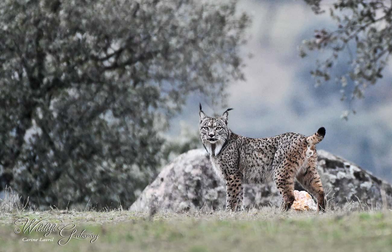 Hiver Espagne Le Lynx Pardelle du 22 au 29/01/2020 - 4 places disponibles