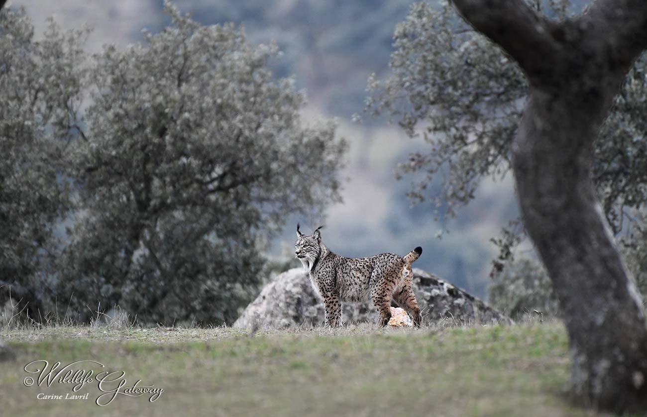 Hiver Espagne   Le lynx Pardelle du 16 au 23 Janvier 2021 - 5 places disponibles