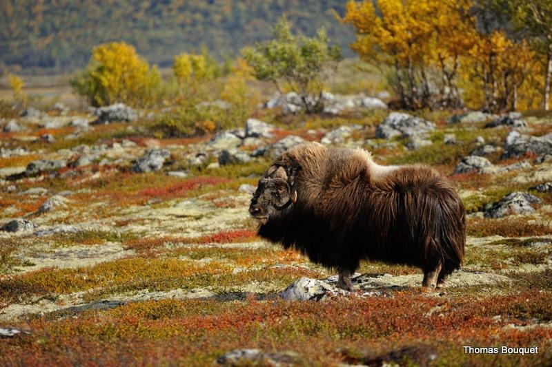 Automne Norvège les bœufs musqués du 28/09 au 5/10/2020 - 5 places disponibles