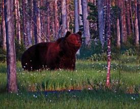 Ours dans le no man s land finlandais russe