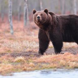 Finlande ours gloutons 19 au 26 juin 2017, 5 places restantes