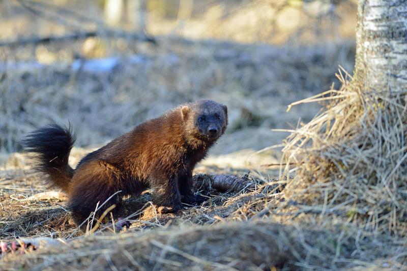 Printemps Finlande ours gloutons à la demande